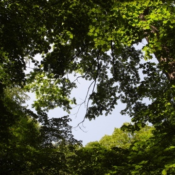 080623見上げた木々.jpg